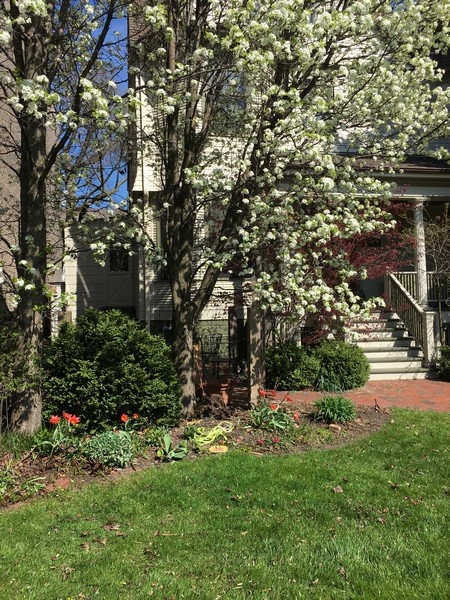Real Estate Photography - 4101 N Greenview, Chicago, IL, 60613 - Pear Tree and spring blooms