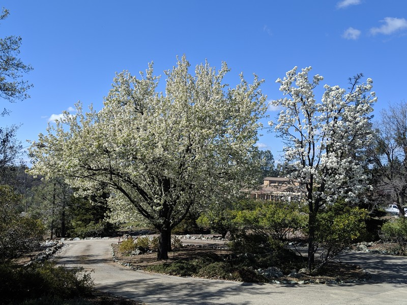 Real Estate Photography - 3570 Skyview Dr, Auburn, CA, 95602 - Lovely flowering trees in the circle driveway